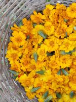 Marigold | USING NATURAL DYES FROM PLANTS TO DYE WOOL WORKSHOP